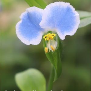 地味だけど捨てがたい・・・そんな花です。