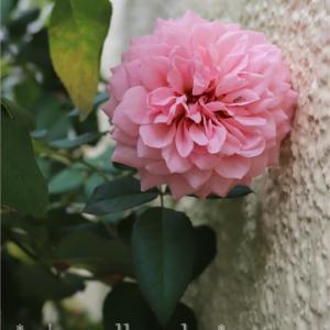 薔薇とクレマとタイタンビカス*気になる多年草