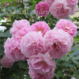 バラを買うなら・・・ツル薔薇ならコレ!
