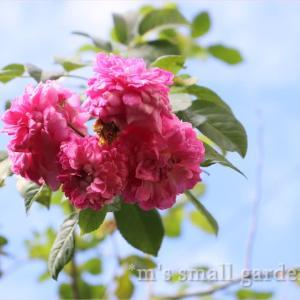 庭びより!バラとシルホサ*ゼラチン入りハンバーグ