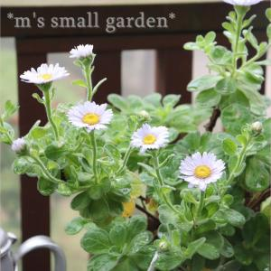 庭は変化し続ける*絞りのバラ・ラジオ