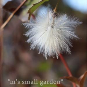 挿し芽からのクレマチスを地植えと鉢増ししました!