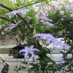 バラに囲まれてクレマチスが咲く!勇気をいただいた話