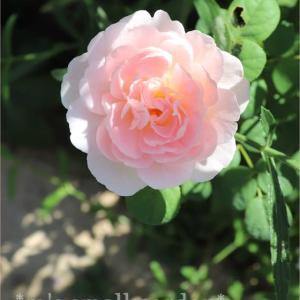 ダイソーカポックと今日の薔薇