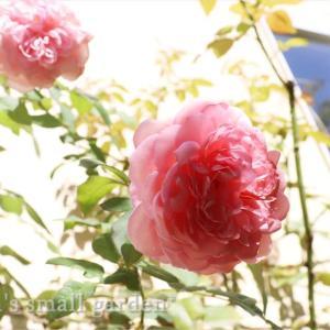 庭のイメチェンの秋*バラの仮誘引