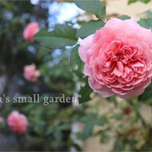 バラは咲く咲く今日も咲く*8000歩!