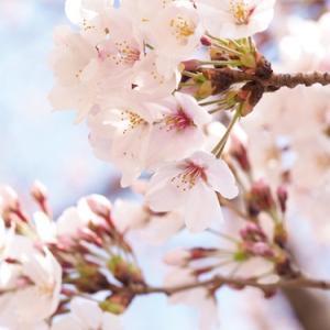 お花見と、ボンボニエール 。