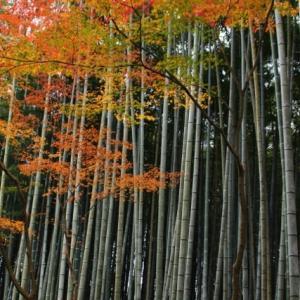 竹林に映える紅葉 (竹の寺 地蔵院)