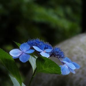 紫陽花終い花