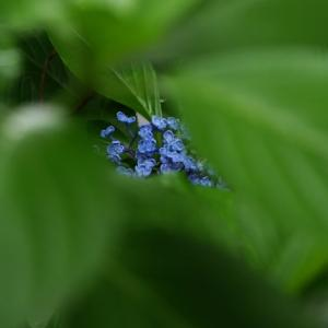 青い宝石 紫陽花
