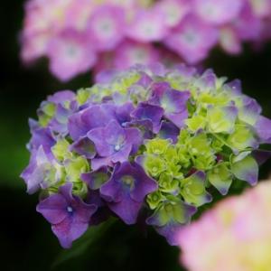煌びやか紫陽花