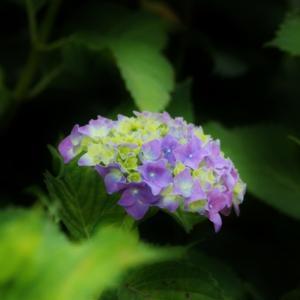 紫陽花情緒