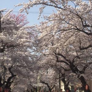 青森も桜が咲きました