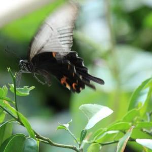 アゲハ蝶の卵から