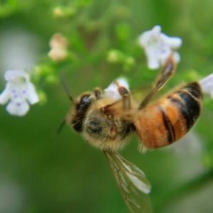 ミツバチのお仕事