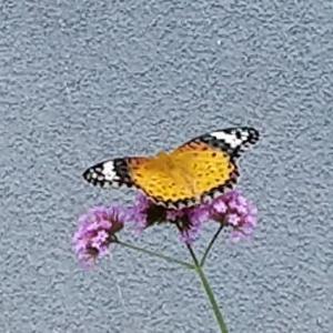 蝶に遊ばれ