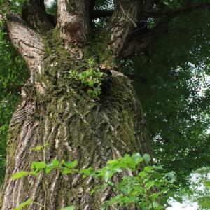 本丸跡のいちょうの木