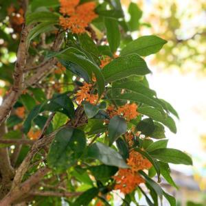 金木犀は秋の香り
