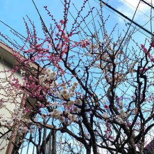 庭の梅の開花と引っ越し見積もり
