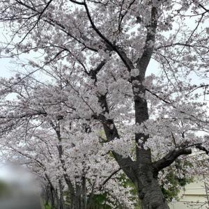 桜が見頃🌸
