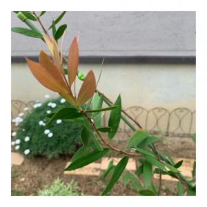 ブラシの木に新葉