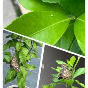 アゲハ蝶との戦い