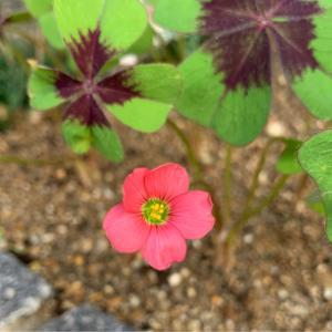 ラッキークローバーの花