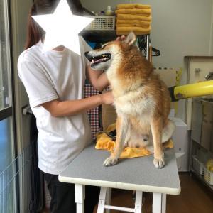 犬男のシャンポーと秋の展覧会