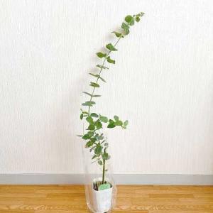 新しい植物 ユーカリブリッジシアナ。