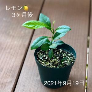 レモンの成長記録 〜 3ヶ月目
