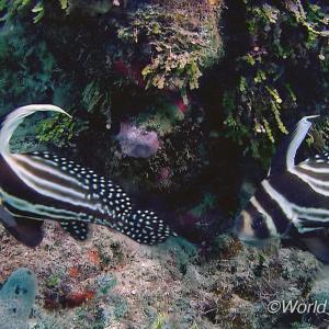 世界の海で出会った魚図鑑【スポテッドドラム】