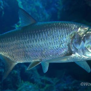 世界の海で出会った魚図鑑【ターポン】