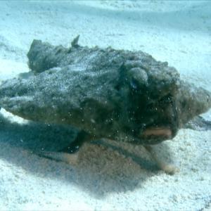 世界の海で出会った魚図鑑【ニシフウリュウウオ】