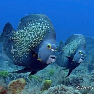 世界の海で出会った魚図鑑【キホシヤッコ】
