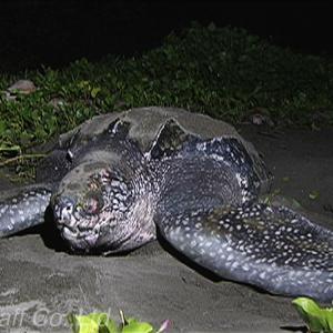 世界最大のカメ・オサガメの産卵海域は? 日本にも遠路はるばるやってくる