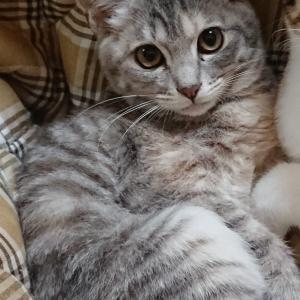 明日1/17(日)にゃんクルー譲渡会に参加予定の猫さんたち-その2