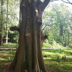 ラクショウの木