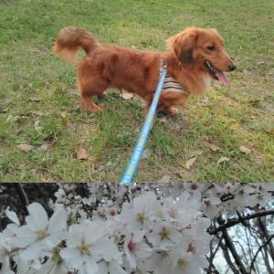 桜を愛でる~(≧∇≦)