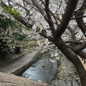 本日の桜(3/30)