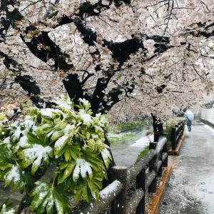 本日の桜(3/29)