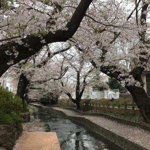 本日の桜(3/31)