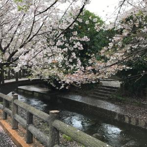 本日の桜(4/1)