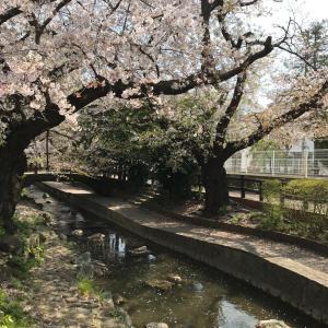 本日の桜(4/3)