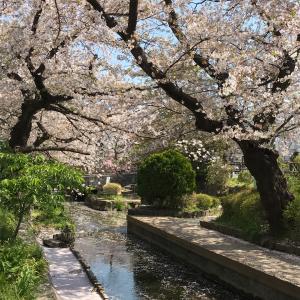 本日の桜(4/4)