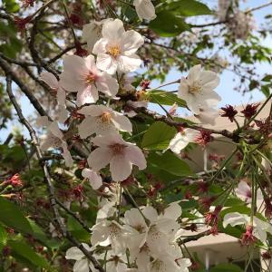 本日の桜(4/7)
