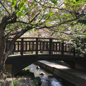 本日の桜(4/8)