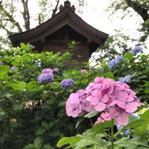 紫陽花を愛でに