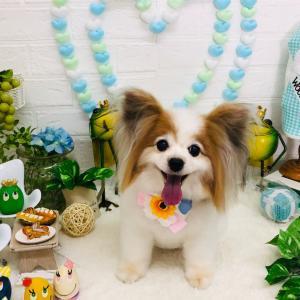 トリミング☆/パピヨンのミミーちゃん/PetStationHumming(ハミング)