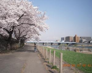 桜満開の明治橋下流