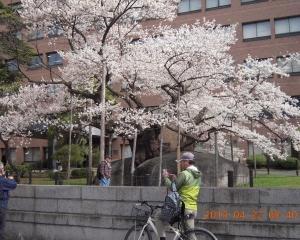 平年より3日早く19日に満開なった石割桜
